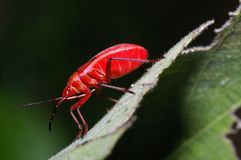 Red bug from Thailand Stock Photo