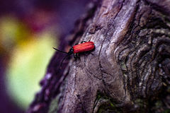 Red bug on a tree. Red beetle Pyrrhidium sanguineum on a tree. Photo taken in Bohemian Switzerland Stock Image