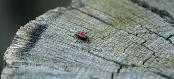 Red bug on the trunk of a tree stump Stock Photo