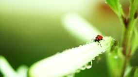 Red Bug With Water Drops On Unopened Regal Lily Flower. Version 1 stock video
