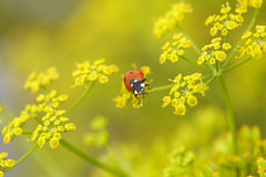 Red bug on yellow flowers Royalty Free Stock Photo