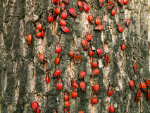 Red bugs Royalty Free Stock Image