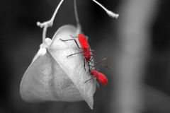 Red bugs Royalty Free Stock Photography
