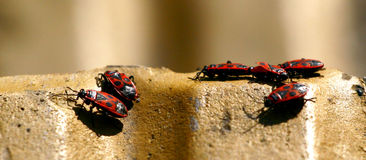 Red bugs Royalty Free Stock Photos