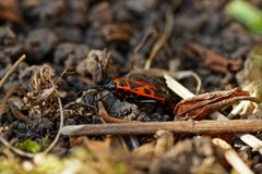 Red bugs in the garden in spring stock images