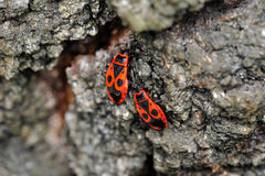 Red Bugs in Love Royalty Free Stock Photography