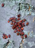 Red bugs Stock Images