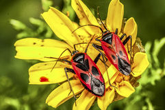 Red bugs Stock Photo
