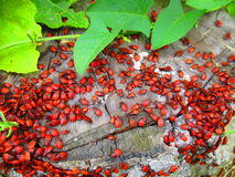 Red bugs. View of a lot of newly born red bugs that we call soldiers in Ukraine royalty free stock image