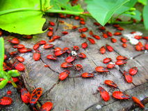 Red bugs. View of a lot of newly born red bugs that we call soldiers in Ukraine stock photos