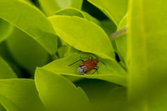 Red bugs with wings in some leaves. Red bug with wings hanging out in a plant leaves stock photo