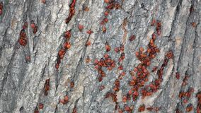 Red bugs on wooden surface stock video