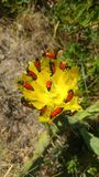 Red bugs on a yellow flower. Red insects on a yellow flower Stock Photo