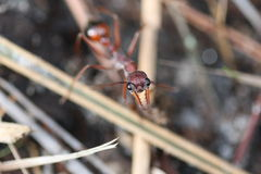 Red Bull Ant. Macro shot of a red bull ant in Melbourne, Australia stock photos
