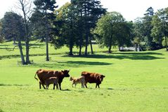 Red bull beef cattle Stock Photography
