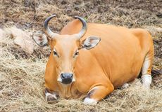 Red bull or bos javanicus sitting on pile of dry straw ,natural animal background royalty free stock photos