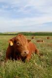 Red Bull e mucche nel campo Immagini Stock Libere da Diritti
