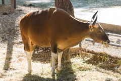 The red bull in the farm. A bull or horn cow eating slowing in the farm with evening light Stock Photography