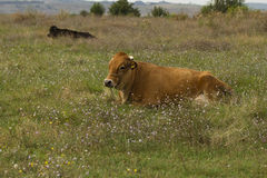 Red bull grazing in the meadow on summer day. Red bull grazing in the meadow on summer sunny day Royalty Free Stock Photo