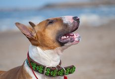 Red bull terrier in a collar Royalty Free Stock Photography