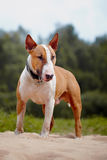 Red bull terrier. Royalty Free Stock Photo