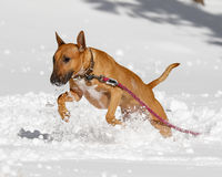 Red Bull Terrier leaping in the snow Stock Photos
