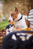 The red bull terrier lies on a bench Royalty Free Stock Images