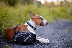 The red bull terrier protects a bag. Royalty Free Stock Photos