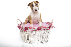 A red Bull Terrier puppy in a basket Stock Images