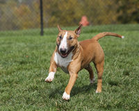 Red bull terrier running through the park Stock Photos