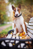 The red bull terrier sits on a bench. In the autumn afternoon Royalty Free Stock Photography