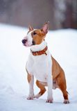 Red bull terrier on walk Stock Photo