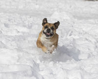 Red Bulldog jumping in the snow Royalty Free Stock Image
