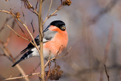 Red bullfinch (aka Pyrrhula pyrrhula). Canon 400D + 400mm 5.6L Stock Image