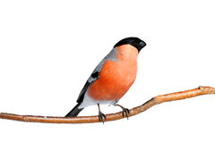 Red bullfinch on a branch Royalty Free Stock Images