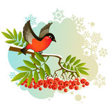 Red bullfinch on winter background. Red bullfinch on winter frozen background Stock Photography