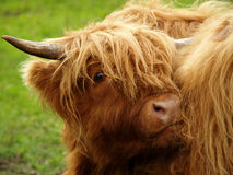 Red bullock in Scotland highland Stock Photography