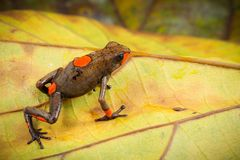 Red bullseye dartfrog, Oophaga histrionica. A beautiful small poison dart frog from the jungle of Colombia stock photos