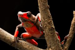 Red bullseye harlequin poison dart frog oophaga histrionica. Red bullseye harlequin poison dart frog, oophaga histrionica. A poisonous animal from the tropical royalty free stock images