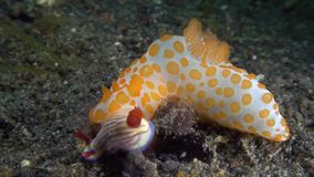 Red bumpy gymnodoris Gymnodoris rubropapulosa eating nudi stock footage