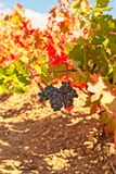 Red bunch of grapes and colorful autumn leaves royalty free stock images