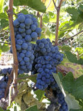 Red bunch of grapes. In the vineyard royalty free stock photo