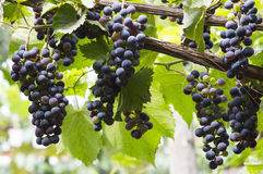 Red bunch of grapes. In the vineyard, harvest time stock image