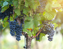 Red bunch of grapes in the vineyard. By sunny weather royalty free stock photography