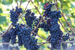 Red bunch of grapes in the vineyard Royalty Free Stock Photography