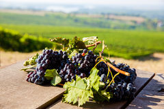 Red bunch of grapes. Red wine grapes on merlot and chabernet vineyard stock images