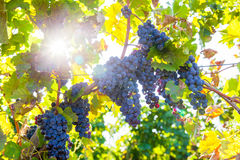 Red bunch of grapes. Red wine grapes on merlot and chabernet vineyard stock photos