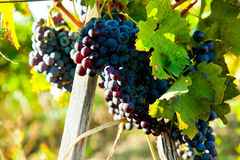 Red bunch of grapes. Red wine grapes on merlot and chabernet vineyard royalty free stock photo
