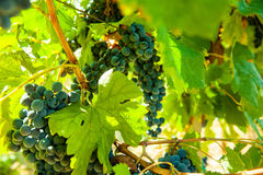 Red bunch of grapes. Red wine grapes on merlot and chabernet vineyard royalty free stock images