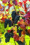 Red bunch of grapes. Red wine grapes on merlot and chabernet vineyard stock photo